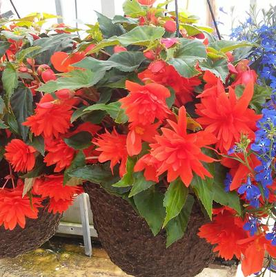 Begonia 'Belaconia™ Hot Orange'