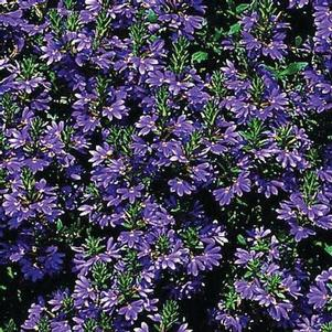 Scaevola 'Scalora® Brilliant'