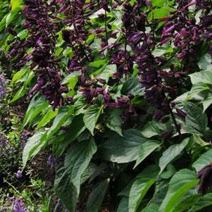 Salvia splendens 'Lighthouse Purple'