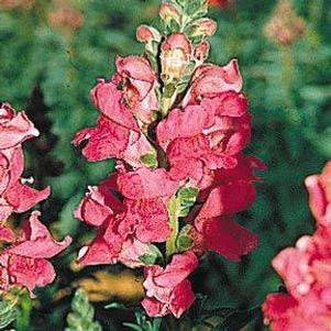 Snapdragon 'Rocket Cherry'