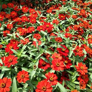 Zinnia 'Profusion Red'