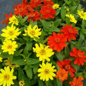 Zinnia marylandica 'Zahara Bonfire Mix'