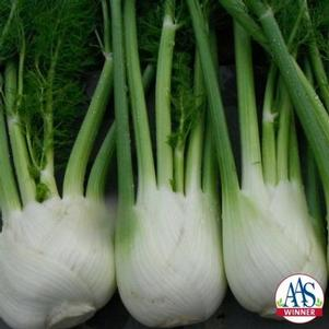 Fennel-bulbing 'Antares F1'