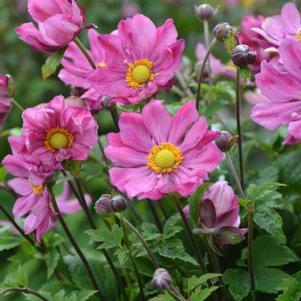 Anemone hupehensis 'Curtain Call Deep Rose'