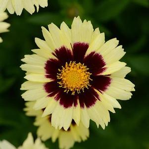 Coreopsis 'Uptick Cream & Red'