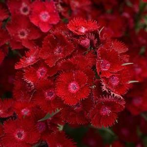 Dianthus barbatus 'Rockin Red'