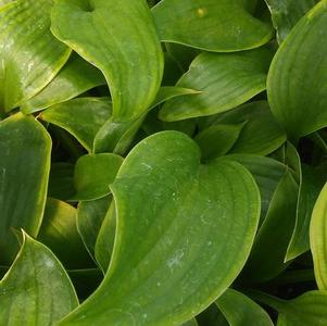 Hosta 'Komodo Dragon'