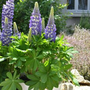 Lupinus polyphyllus 'Mini Gallery Blue Bicolor'