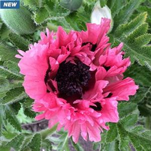 Papaver orientale 'Censation™ Pink Perfection'