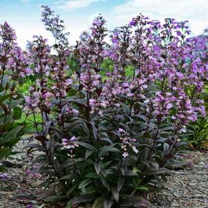 Penstemon 'Blackbeard'