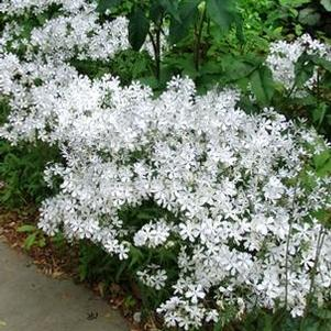 Phlox divaricata 'May Breeze'