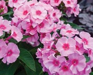 Phlox paniculata 'Early Start™ Pink Dark Eye'