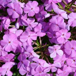 Phlox x 'Forever Pink'