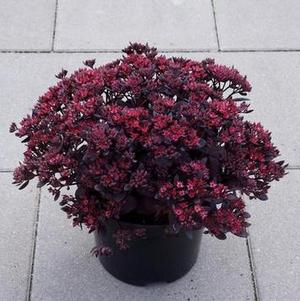 Sedum 'Sunsparkler® Plum Dazzled'