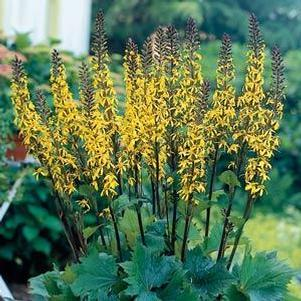 Ligularia 'Little Rocket'