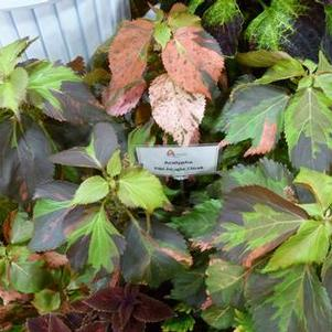 Acalypha 'Tiki Jungle Cloak'
