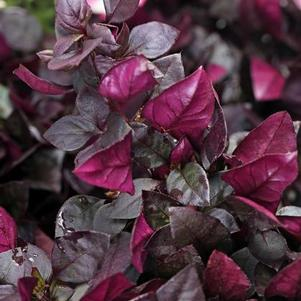 Alternanthera 'Choco Chili®'