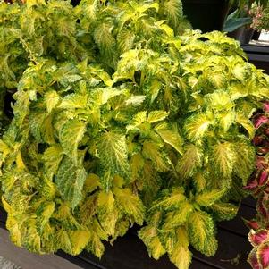 Coleus 'Party Time™ Lime'