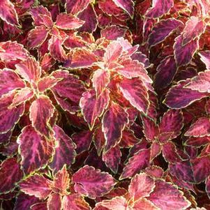 Coleus 'Party Time™ Ruby Punch'