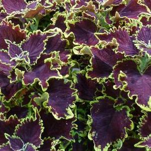 Coleus 'Stained Glassworks™ Crown Jewel'