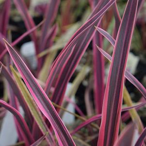 Cordyline 'Paso Doble'