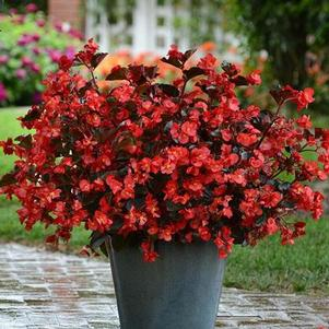 Begonia 'Megawatt Red Bronze Leaf'