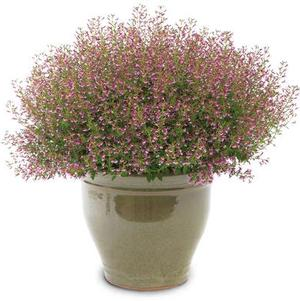 Cuphea 'Fairy Dust™ Pink'