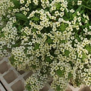 Lobularia 'Yolo French Vanilla'