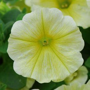 Petunia 'Headliner™ Yellow'