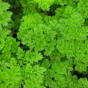 Parsley, curled 'Forest Green'