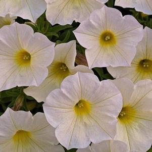 Petunia 'Supercal® Buttercream'