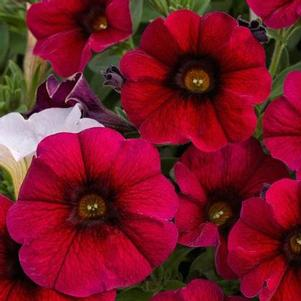 Petunia 'Supercal® Crimson Red'