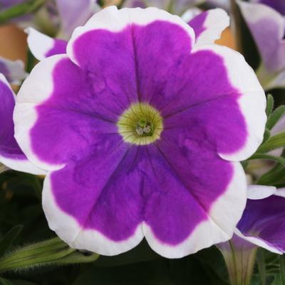Petunia 'Surprise Amethyst Halo'