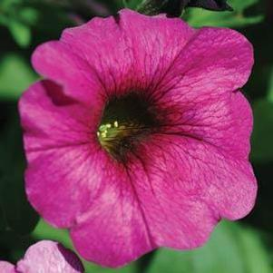 Petunia 'Supercal® Purple'