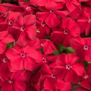 Phlox 'Intensia® Red Hot'