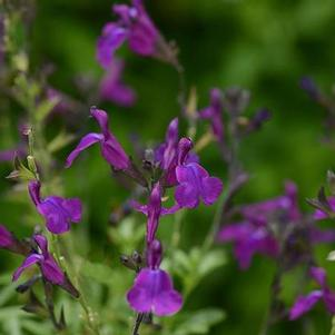 Salvia greggii 'Mirage™ Deep Purple'
