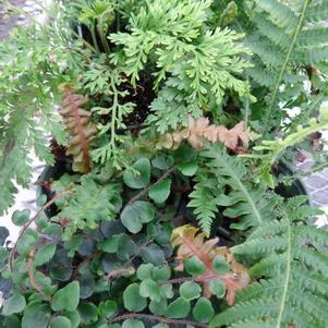 Ferns 'Tropical Selection'