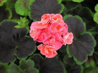 Geranium 'Brocade Salmon Night'