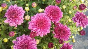 Mum Igloo 'Ice Pink'