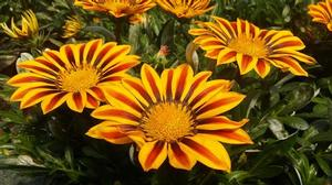 Gazania 'Big Kiss Yellow Flame'