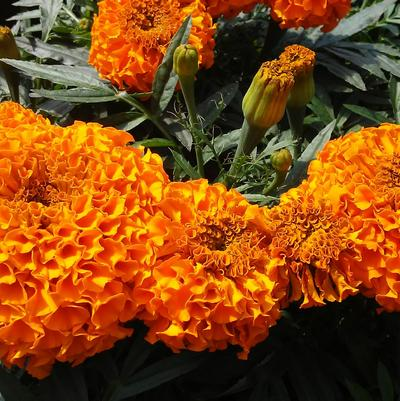 Marigold 'Taishan Orange'