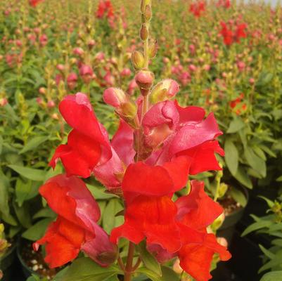 Snapdragon 'Snaptastic Orange Flame'