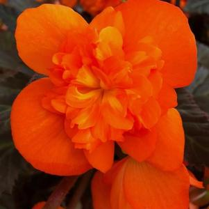 Begonia 'I'Conia Portofino Hot Orange'