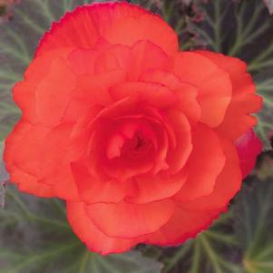 Begonia 'I'Conia Upright Salmon'