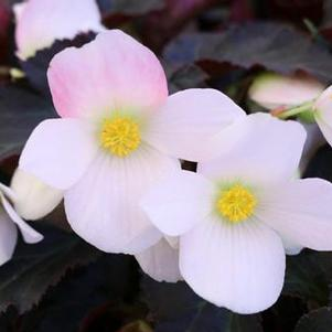 Begonia 'I'Conia Upright White'
