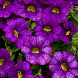 Calibrachoa 'Superbells® Blue'