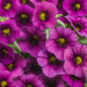 Calibrachoa 'Superbells® Plum'