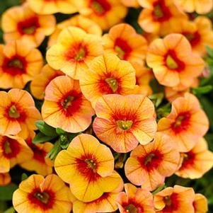 Calibrachoa 'Superbells® Tangerine Punch™'