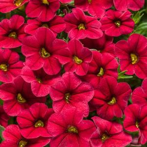 Calibrachoa 'Superbells® Red'