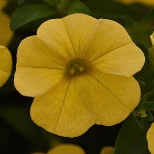 Calibrachoa 'Cabaret® Golden Yellow'